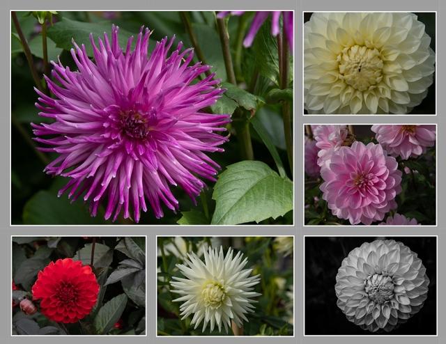 Dahlias Ballarat Gardens 2